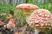 foto of toadstools  - spotted toadstools in the woods - JPG