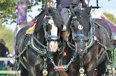 picture of shire horse  - two black shire horses working in harness