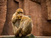 picture of macaque  - A pair of barbary Macaque showing typical grooming behavior