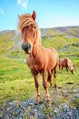 foto of iceland farm  - Icelandic Pony on a farm in Iceland - JPG