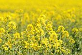 stock photo of rape-field  - Blooming canola field - Rape on the field in summer ** Note: Shallow depth of field - JPG