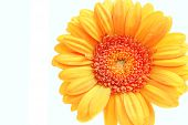 picture of oblong  - orange gerbera isolated on white background close - JPG