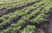 picture of strawberry plant  - Strawberry plants in a specialised strawberry plant nursery on a sunny day in autumn - JPG