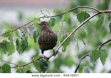 Blackbird Standing On Branch
