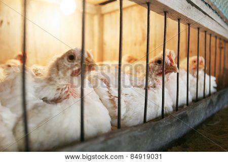 Hens In Coop