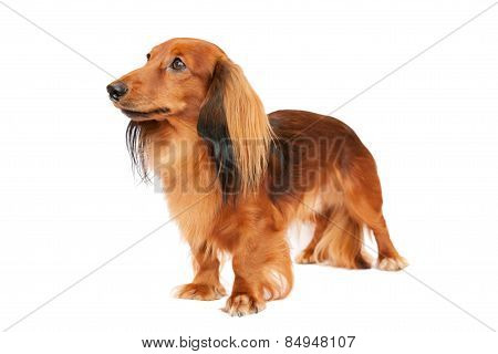 Miniature Longhaired Dachshund On A White Background