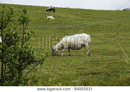Sheep grazing on a hill, Killarney National Park, Killarney, County Kerry, Republic of Ireland