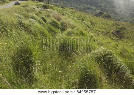 Tall grass in Killarney National Park, Killarney, Ring Of Kerry, County Kerry, Republic of Ireland