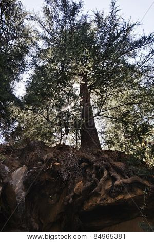 Low angle view of a tree in a forest, Manali, Himachal Pradesh, India
