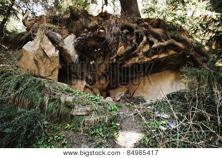 Low angle view of roots of a tree, Manali, Himachal Pradesh, India