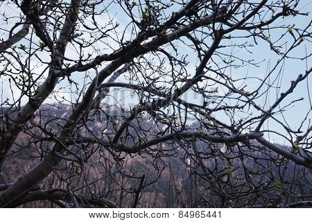 Bare trees in a forest with mountains in the background, Manali, Himachal Pradesh, India