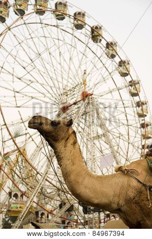 Low angle view of a camel and ferris wheel