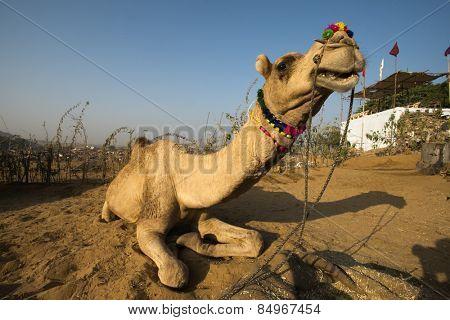 Camel sitting on sand at Pushkar Camel Fair, Pushkar, Ajmer, Rajasthan, India