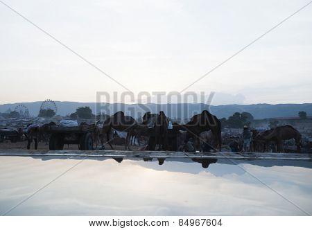 Scene at Pushkar Camel Fair in the early morning, Pushkar Lake, Pushkar, Ajmer, Rajasthan, India