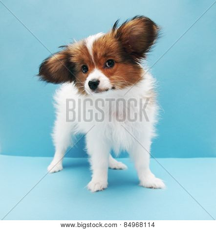 Papillon On A Blue Background