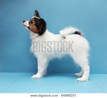 White Dog Breed Papillon