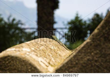 Close-up of a lizard, Ravello, Amalfi Coast, Salerno, Campania, Italy