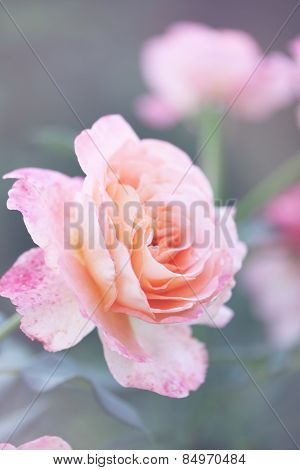 Beautiful Rose In The Garden