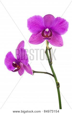 Blooming Twig Of Lilac Orchid Isolated On White Background.