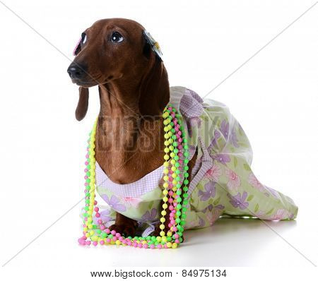 female dog - miniature dachshund wearing  clothing on white background