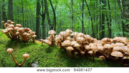 Bunch Of Autumnal Honey Fungus