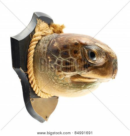 Turtle's head as a hunter's trophy