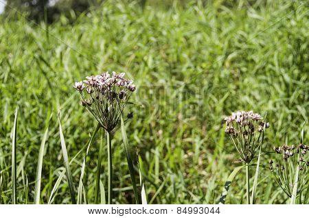 Spreewald Butomus Flower