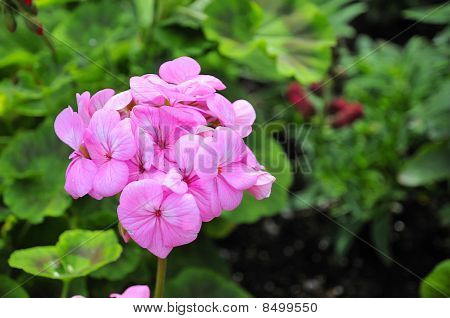 Red-white Geranium