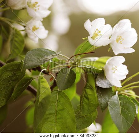 Flowers of apple