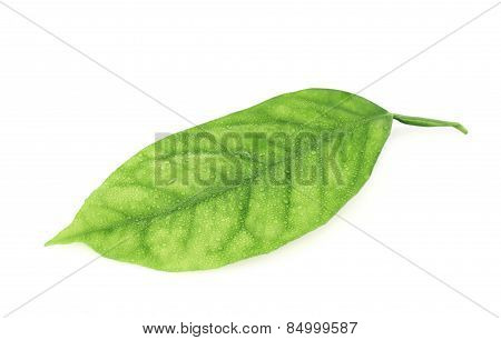Lemon tree leaf isolated