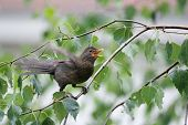 stock photo of brown thrush  - A side view of a blackbird with an open beak and flapping wings and standing on a birch tree branch in nature - JPG