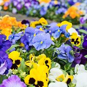 picture of viola  - Viola pansy flower composition close - JPG