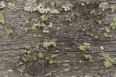 foto of lichenes  - Weathered cracked wooden board with lichen in the Alps - JPG