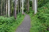 stock photo of coniferous forest  - Gravel forest road in coniferous forest that leads to the top. ** Note: Soft Focus at 100%, best at smaller sizes - JPG