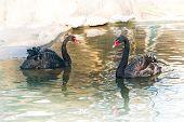 pic of black swan  - Two black swans in the lake water - JPG