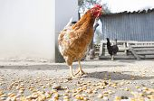 picture of hen house  - Domestic hen house outdoors where chickens have free space for live - JPG