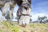 foto of jackass  - Funny small spanish grey donkey grazing on the grass - JPG