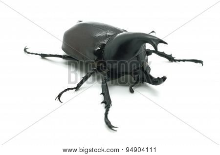 Rhino big horn beetle bug