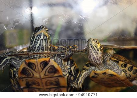 family turtles