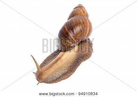 Photo of brown snail