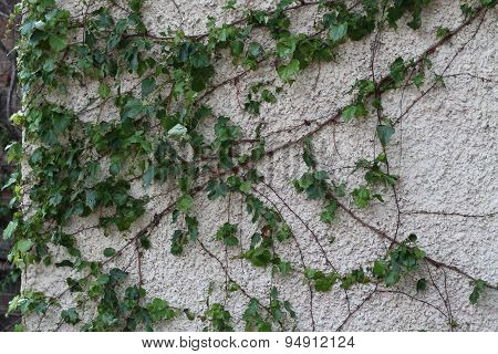Green leafy vine growing on wall