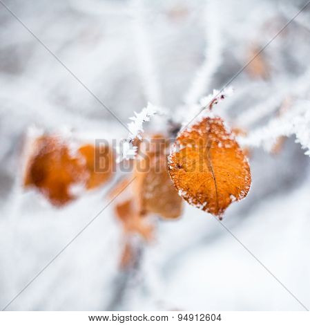 Yellow Leaves Covered With Hoarfrost