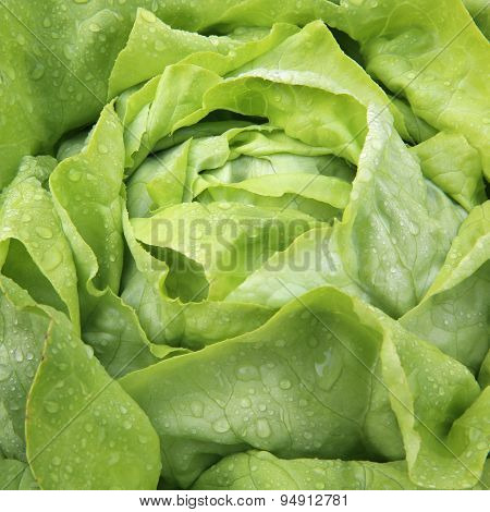 Freshly Butterhead Lettuce