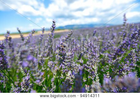 Lavender flowers close up
