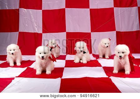 Photo of cute puppies Samoyed breed