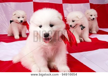 Image of puppies Samoyed breed
