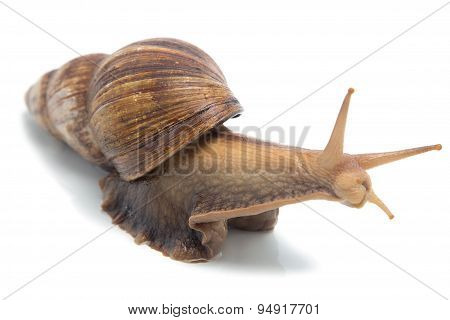 Isolated photo of Achatina
