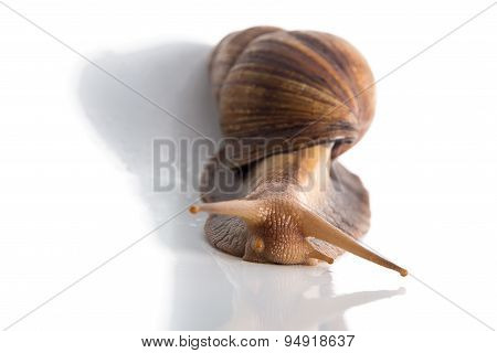 Image of Achatina with shadow