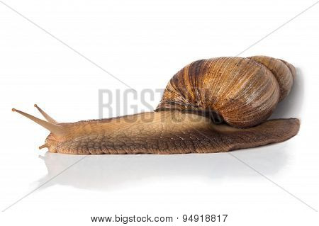 Image of Achatina - full length