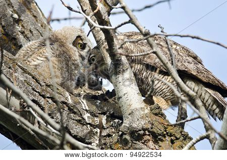 Adult Great Horned Owl Passing Captured Rodent To Young Owlet